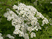 Gray Grefsheim (Spiraea cinerea Zabel) blossoming Spirey — Stock Photo
