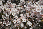 Cherry flowers (Prunus subgen. Cerasus) — Foto Stock