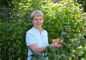 The woman of average years picks berries of black currant  — Stok fotoğraf