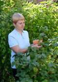 The woman of average years picks berries of black currant from a — Stock Photo