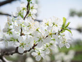 Branch of a flowering plum — Stock Photo