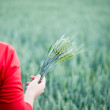 Wheat ears in the hands — Stock fotografie