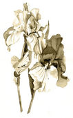 Iris in sepia — Stockfoto