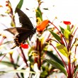 Black butterfly with orange flower — ストック写真