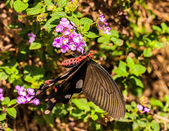 Black butterfly with pink flower — Stock Photo