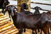 Svarta getter i gård — Stockfoto