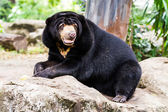 Black bear sitting on the rock — Stock Photo