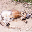 Brown kangaroo laying on ground — Stock Photo #17740785