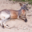 Brown kangaroo laying on ground — Stock Photo