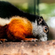 Black giant squirrel — Stock Photo