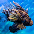 Stock Photo: Lion fish in water