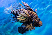 Lion fish in the water — Stock Photo