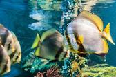 White angelfish black striped yellow tail — Stock Photo