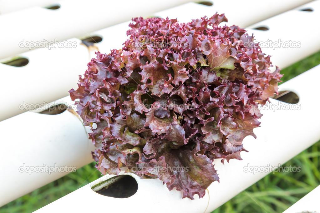 Салат с фиолетовыми листьями