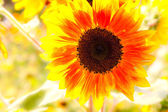 Yellow and orange sunflower close up — Stock Photo