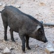 Photo: Black wild boar standing