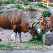 图库照片: Brown banteng and calf eating grass