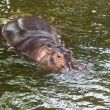 图库照片: Hippopotamus swimming in water