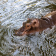Hippopotamus swimming in water — Foto de Stock