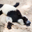 Stock Photo: Balck and white lemur on rock