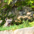 Hyenin zoo — Stock Photo #26136743