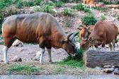 Banteng brun et veau nourrissant d'herbe — Photo