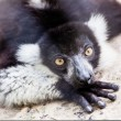 Balck and white lemur on rock — Stock Photo #26145549