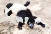 Balck and white lemur on rock — Stock Photo