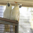 Citron crested cockatoo — Stock Photo