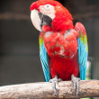 Stock Photo: Colorful green winged macaw