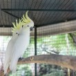 Stock Photo: Greater sulphur crest cockatoo
