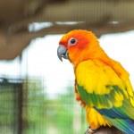 Sun conure parrot — Stock Photo #27596763