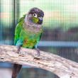 Green cheek conure — Stock Photo
