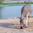 Zebra eating grass beside water — Stockfoto