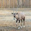 Stock Photo: Walking Oryx