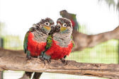 Two crimson bellied conure — Stock Photo
