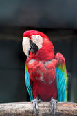 Colorful green winged macaw — Stock Photo