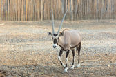 Walking Oryx — 图库照片