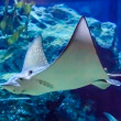 Eagle stingray — Stock Photo