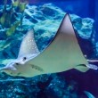 Eagle stingray — Stock Photo #28310355