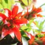 Red match stick bromeliad — Stock Photo