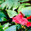 Red flamingo flower — Foto Stock