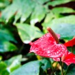 Red flamingo flower — Stok fotoğraf