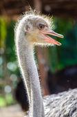 Ostrich head — Stock Photo