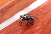Black diptera fly — Foto Stock