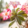 Colorful impala lily — Stock Photo