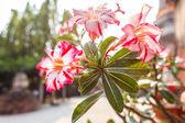Colorful impala lily — Stock Photo