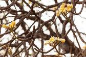 White frangipani — Stock Photo