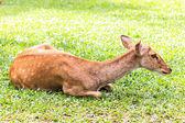 在地面上的女性羚羊 — 图库照片