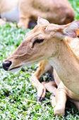 Female antelope on ground — Stock Photo